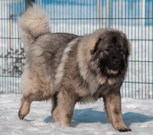 Sarplaninac Dog