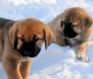 Spanish Mastiff Puppies