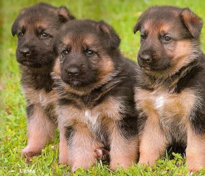 american alsatian puppies for sale