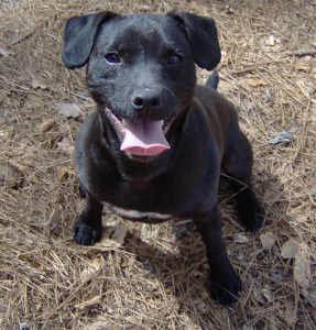 Where To Find Patterdale Terrier Puppies For Sale Dogable