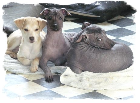 peruvian inco orchid puppies for sale