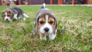 Where To Find Pocket Beagle Puppies For