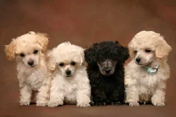 Where To Find Teacup Poodle Puppies For Sale