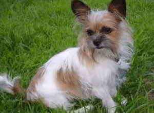 chihuahua shitzu mix learn about the shih tzu chihuahua mix dogable 1114