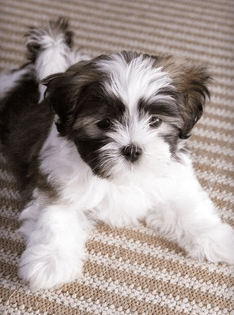 shih tzu maltese poodle mix all about the shih tzu maltese mix aka mal shi shihtese 3130