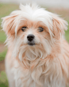All About the Shih Tzu Maltese mix aka Mal-Shi, Shihtese ...