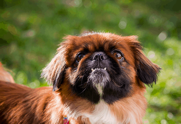 shih tzu mix with pekingese info about the shih tzu pekingese mix aka the shinese 7974