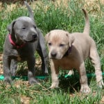 blue lacy puppies
