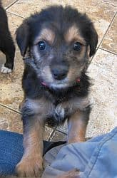 german shepherd poodle mix
