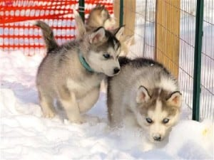 native american indian puppies for sale
