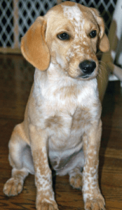 Beagle Labrador Mix