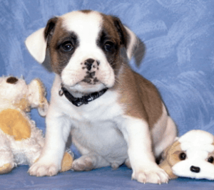 Bulldog Shih Tzu Mix