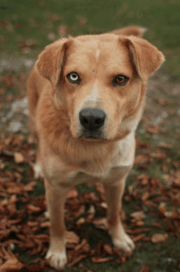Labrador Retriever Husky Mix