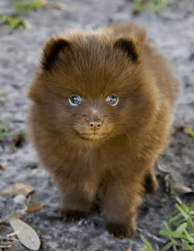 husky pomeranian mix full grown learn about the adorable pomeranian husky aka pomsky dogable 9314