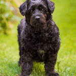 Scottish Terrier Poodle Mix