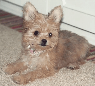 chihuahua pomeranian mix full grown all about the chorkie the yorkie chihuahua mix dogable 6711