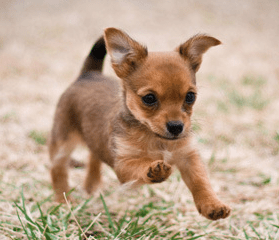 All About The Chorkie The Yorkie Chihuahua Mix Dogable