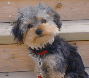 Yorkshire Terrier Poodle Mix