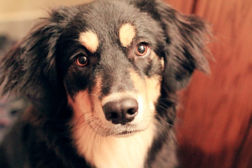 5 Year Male Labrador Cross Collie And German: Learn About The German Shepherd Border Collie Mix