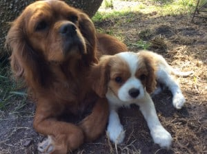 Cavalier King Charles Spaniel Puppy With Mom