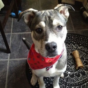 Husky Pitbull Mix