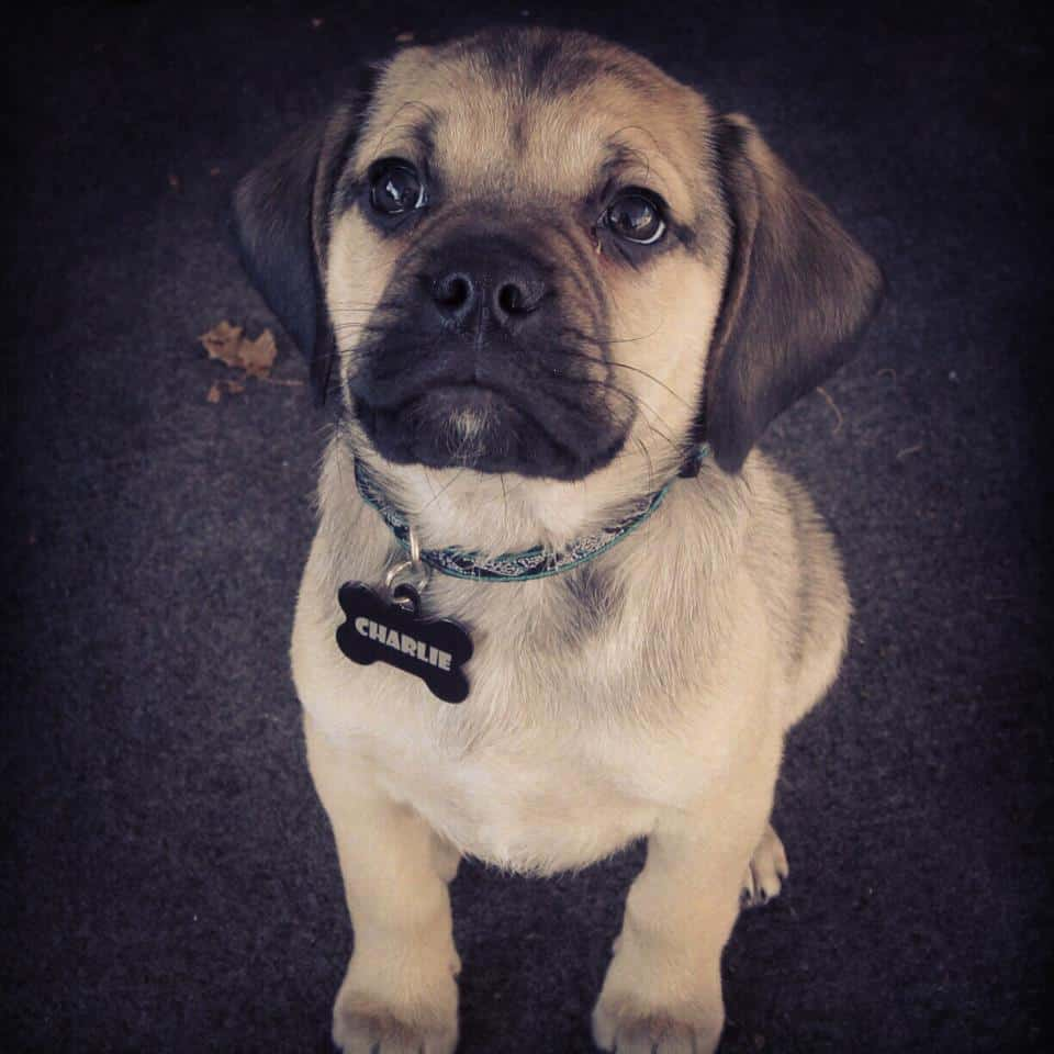 Pug Beagle Mix Aka The Puggle
