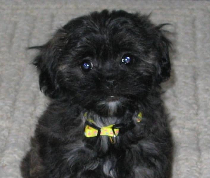 shihpoo shih tzu amp miniature or toy poodle dogable