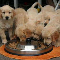 Golden Retriever Puppy Dog Puppy Eating Dog Food