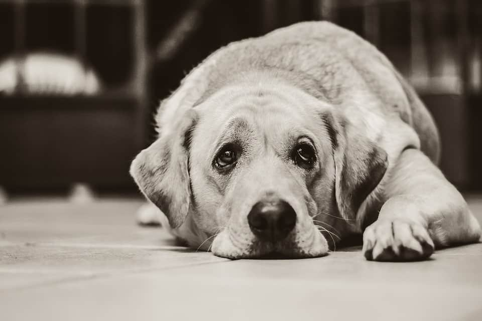 Can Dogs Cry Tears?