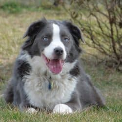 Border Collie Australian Shepherd Mix