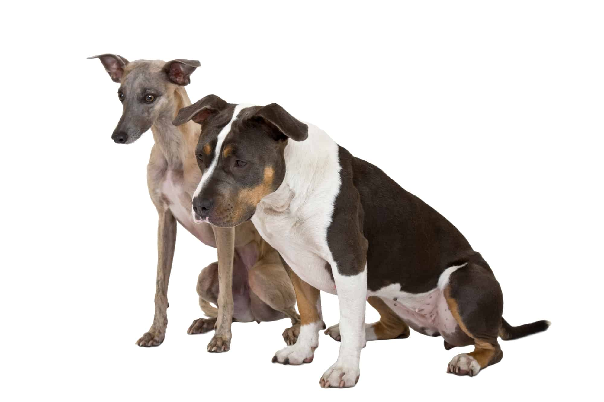 Whippet And Pitbull Together