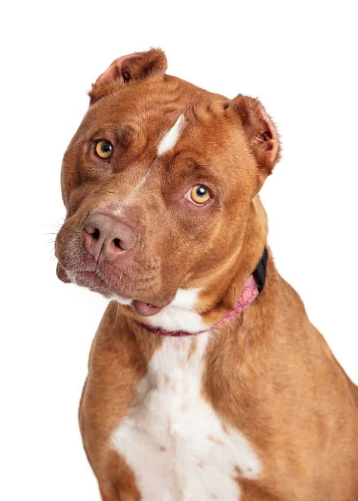 American Pitbull Terrier Breed