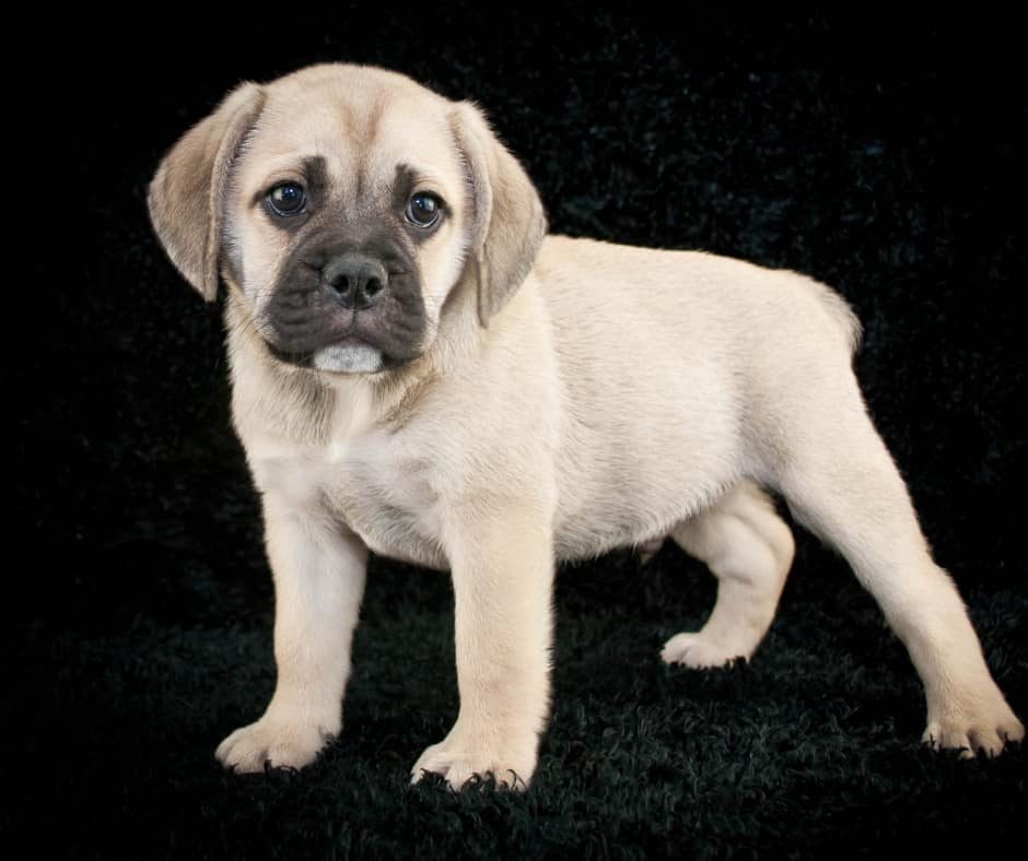 Beabull Puppies For Sale