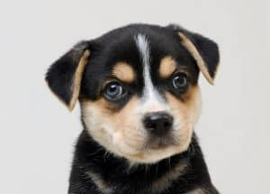 Beagle Husky Mix