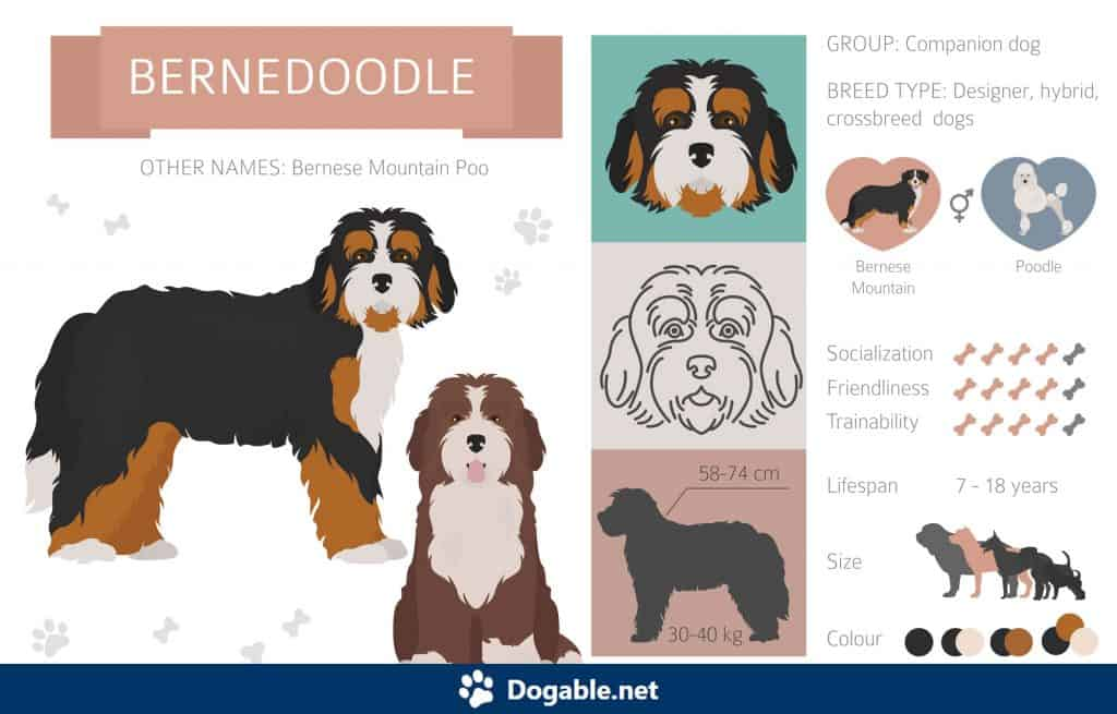 Bernedoodle Infographic