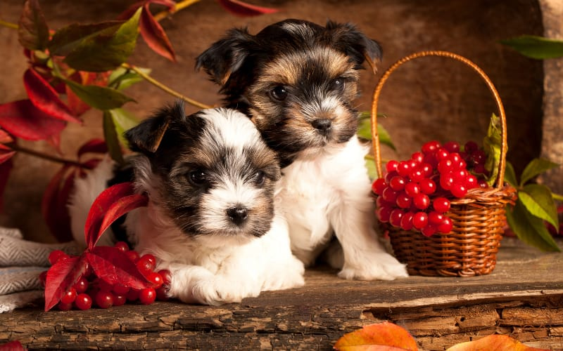 Biewer Puppies For Sale