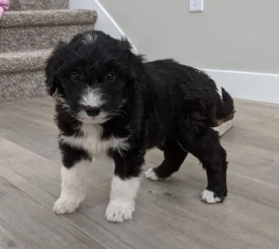Bordoodle Puppy For Sale
