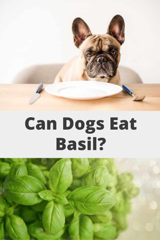 Can Dogs Eat Basil Pin