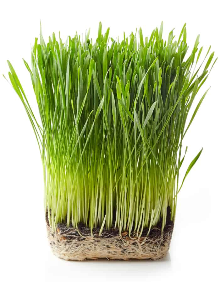 Can Dogs Eat Wheatgrass
