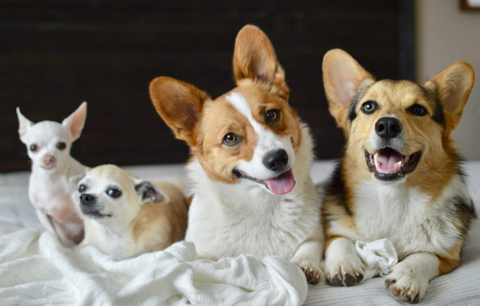 Chihuahua And Corgi Breed