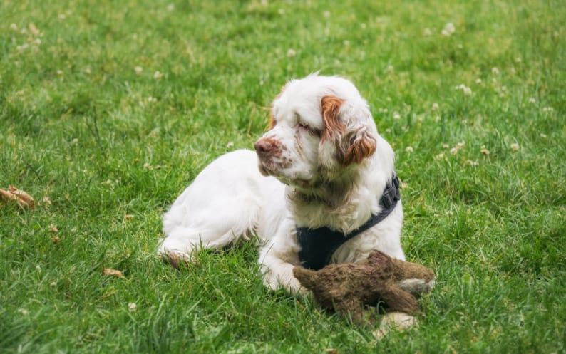 Clumber Spaniel Puppy For Sale