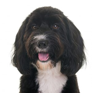 Cocker Spaniel Poodle Mix