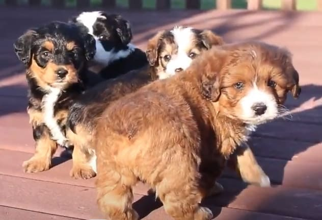 Corgipoo Puppies