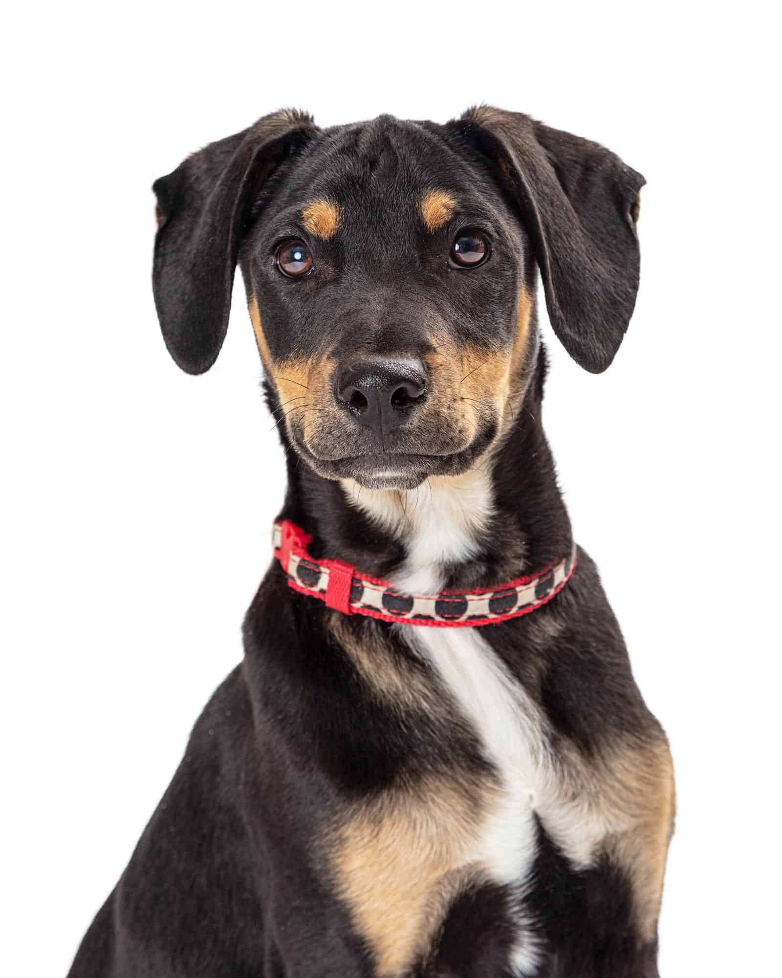 Doberman Pinscher Beagle Mix