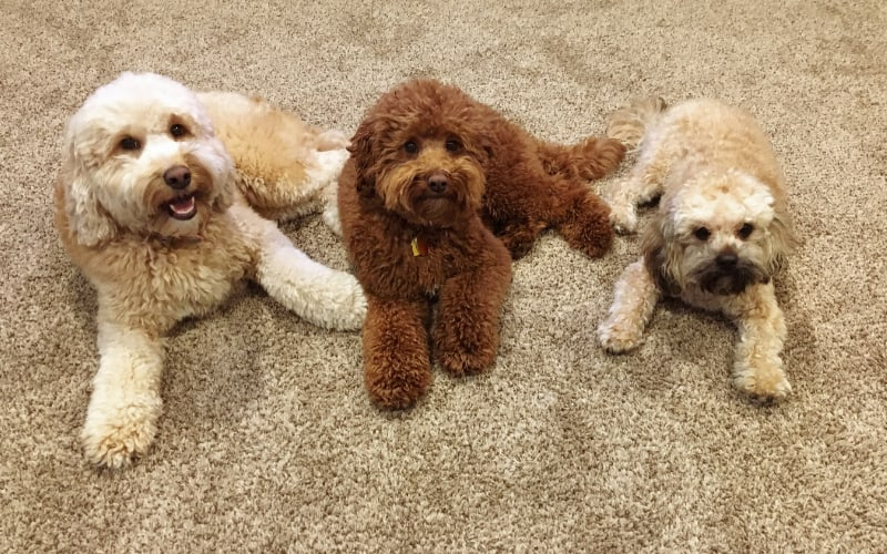 Double Doodle Puppies For Sale