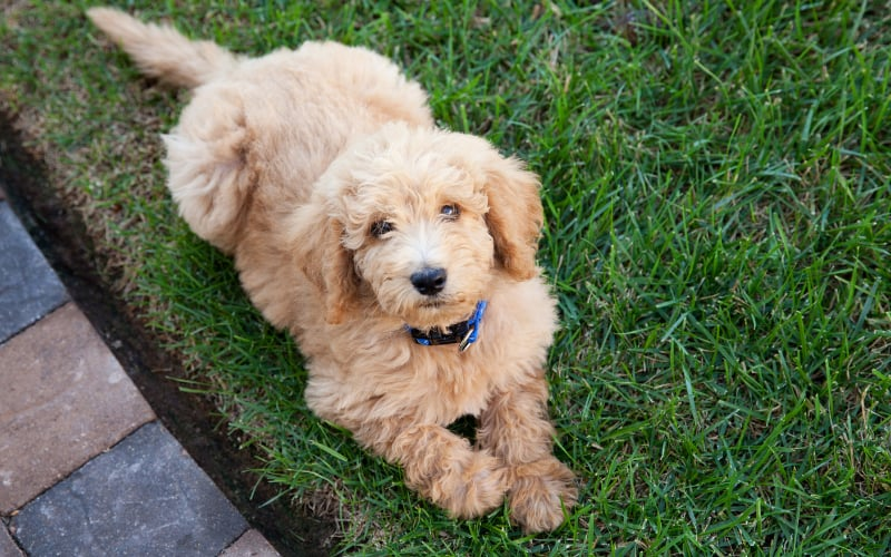 Double Doodle Puppy For Sale