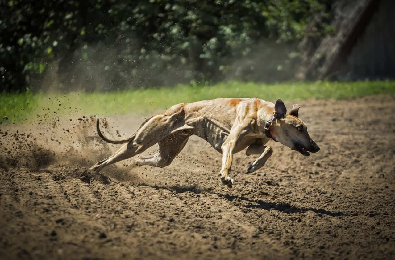 Fastest Dog Breed in the World - Greyhound