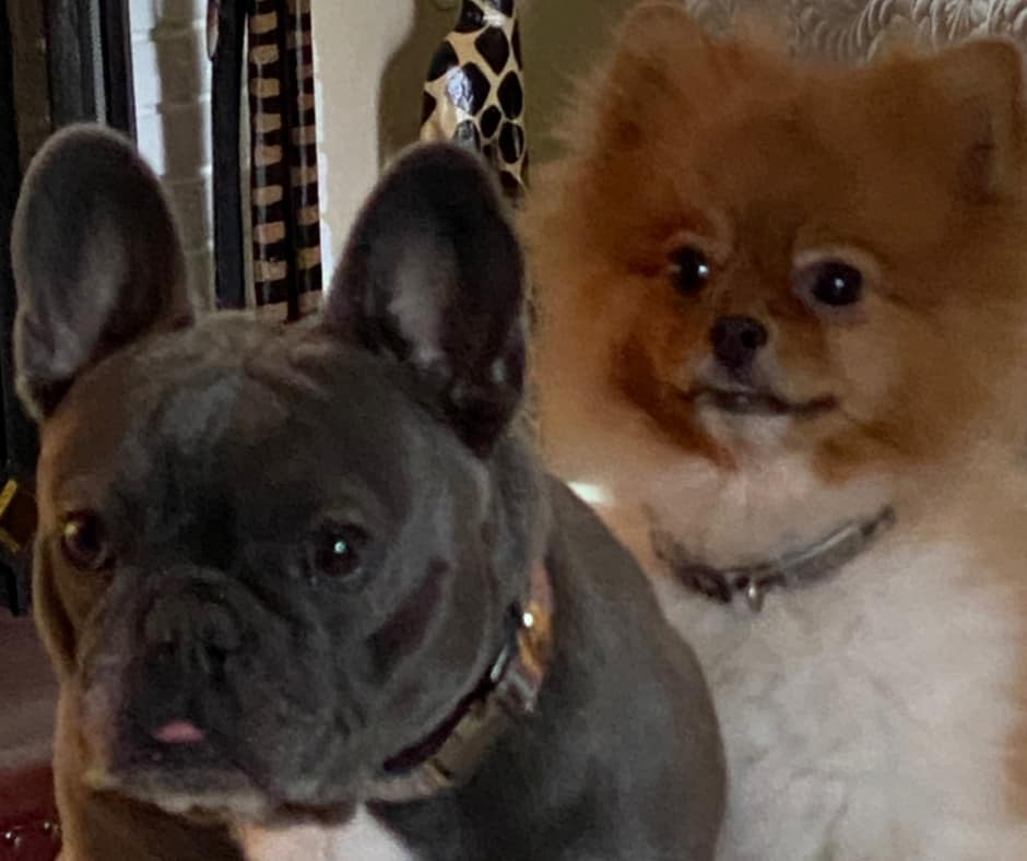 French Bulldog And Pomeranian Together
