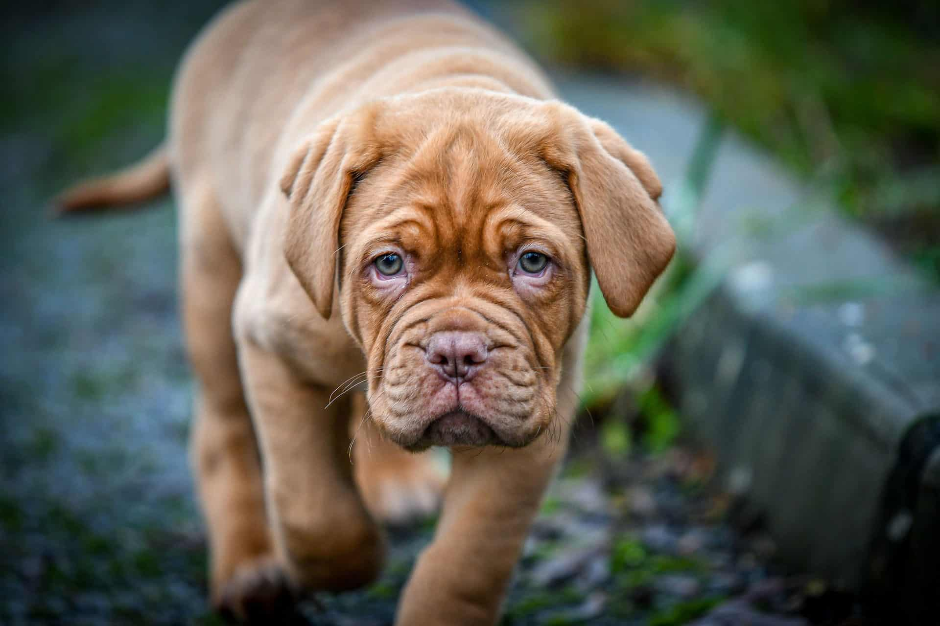 Where To Find French Mastiff Puppies
