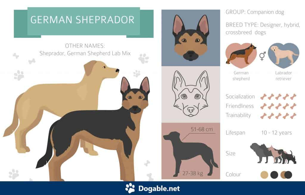 German Shepherd Lab Mix Infographic